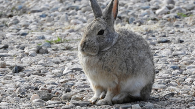 mountain_cottontail_102918_01_1000