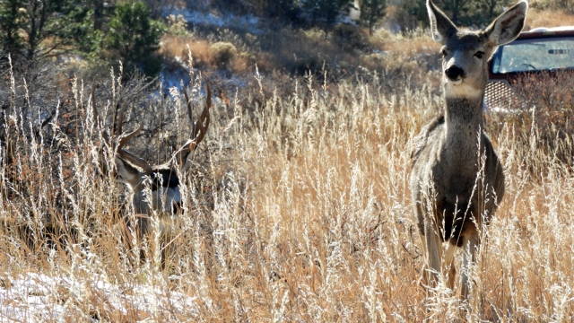 mule_deer_stag-and-doe_rut_111318_01_1000