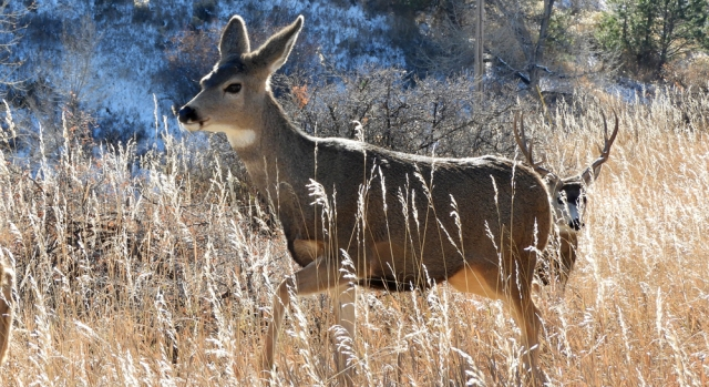 mule_deer_stag-and-doe_rut_111318_02_1000