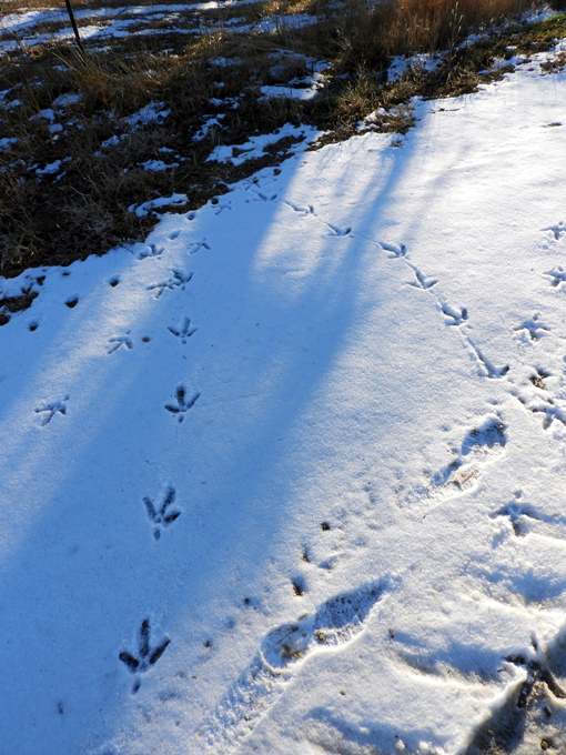 wild_turkey_tracks_120718_680