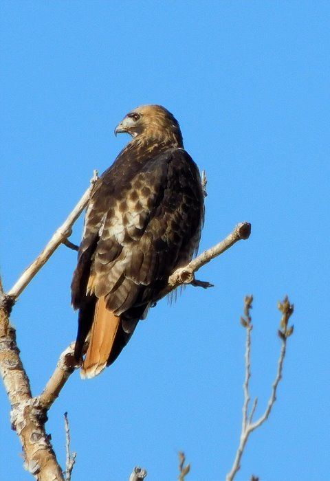 red_tailed_hawk_122616