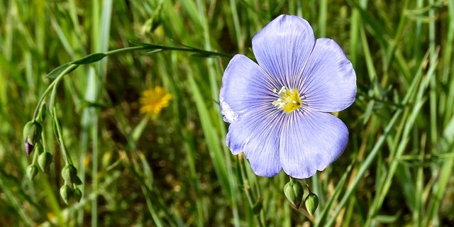 blue_flax_flower_070119_01_1000