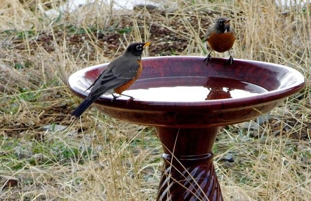 american_robins_at_birdbath_031017_1200