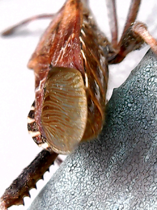 leg-of-Leptoglossus occidentalis-900