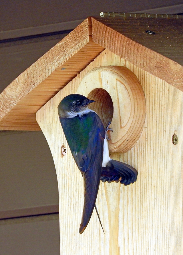 violet-green_swallow_061518_1200